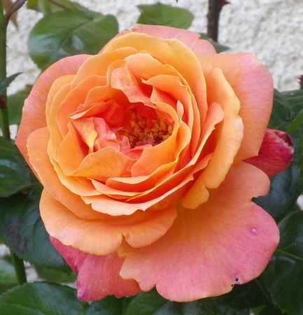 Rosa 'Sdeb' !!! - Page 3 02062022