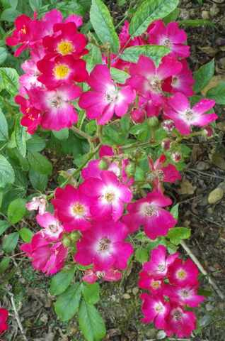 Rosa 'Mozart' !!! - Page 3 02062023