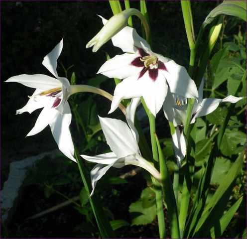 Acidenthera bicolor !!! 02082010