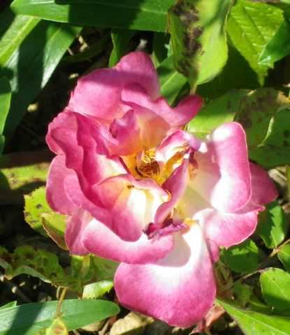 rosa éclat de rire - Page 4 04062023