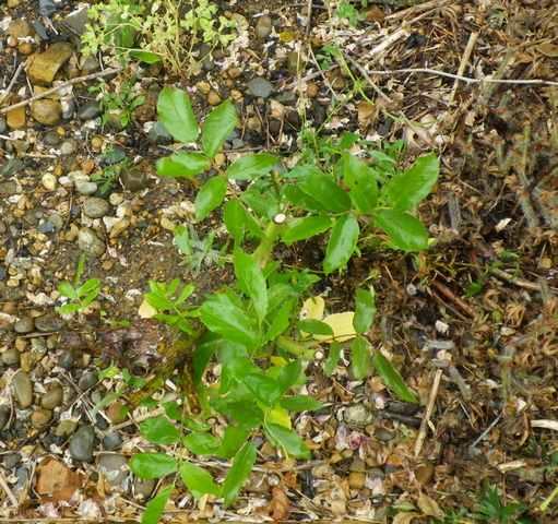 Rosa 'Veilchenblau' ! - Page 2 11062011