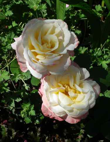 rosae Laéticia Casta - Page 3 21062016