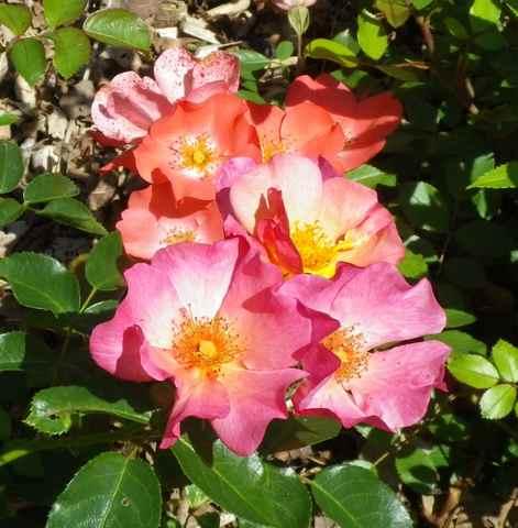 Rosa 'Yann Arthus Bertrand' !!! - Page 4 21062019