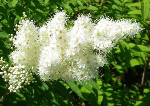 Sorbaria sorbifolia !!! 21062021
