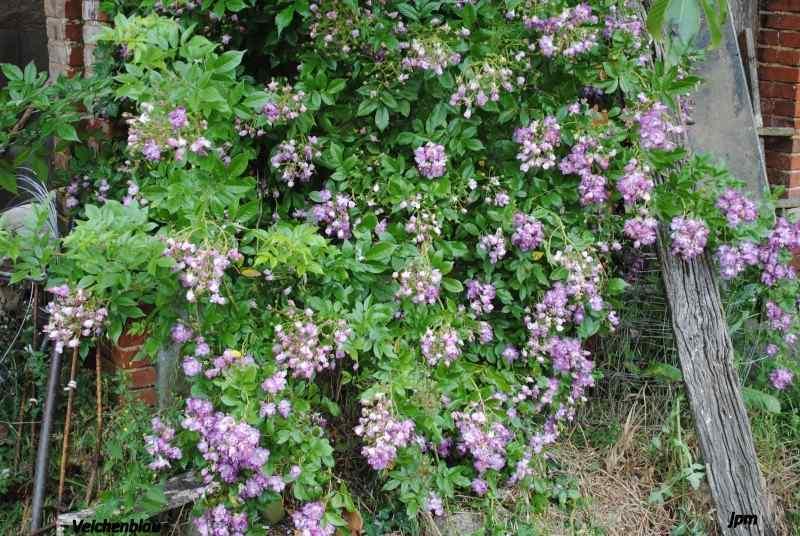 Rosa 'Veilchenblau' ! - Page 2 Dsc_0410