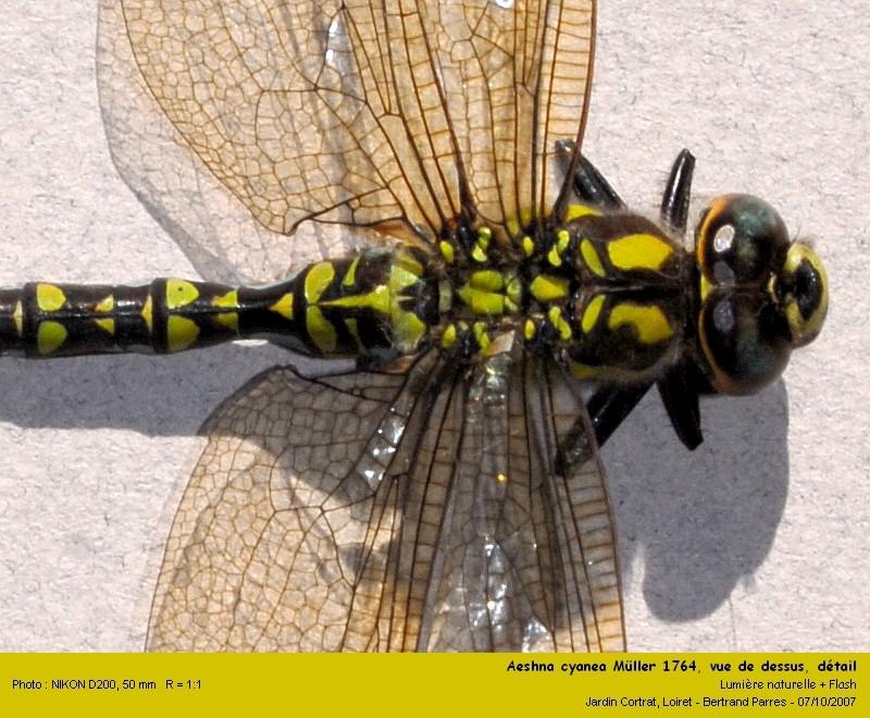 Aeshna cyanea Müller 1764 mâle Aeshna12