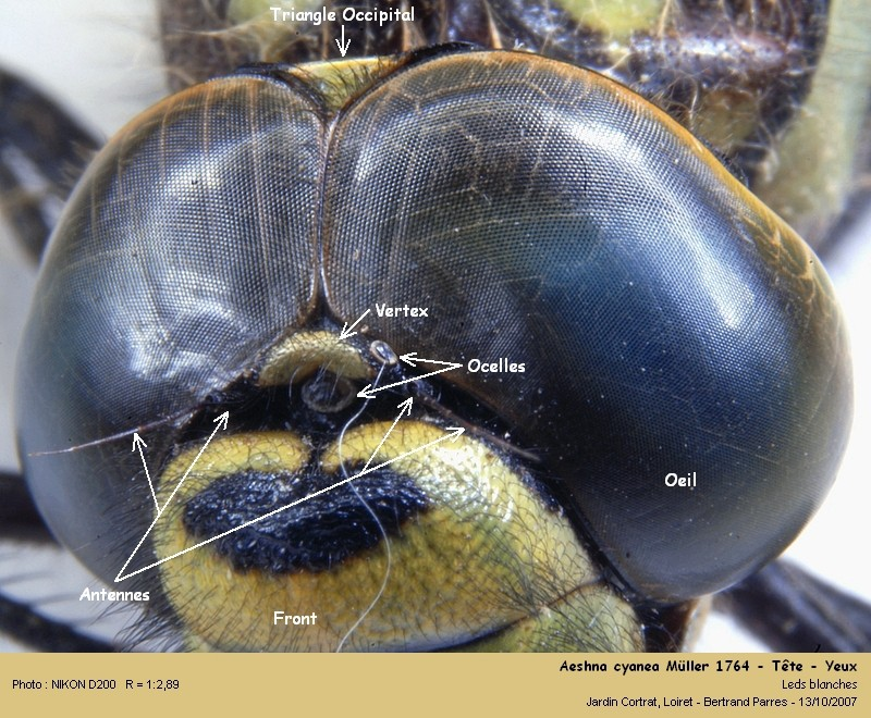 Aeshna cyanea Müller 1764 mâle Aeshna16