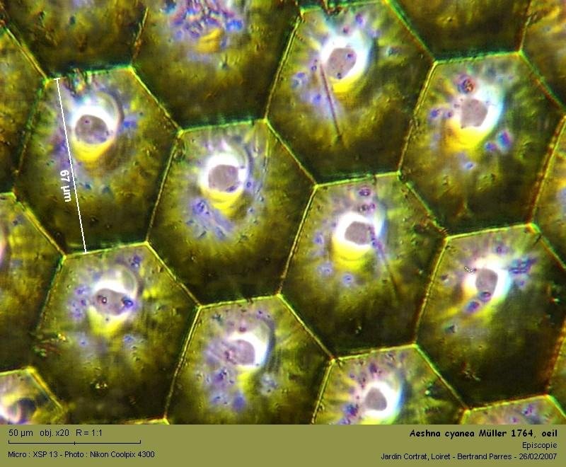 Aeshna cyanea Müller 1764 mâle Aeshna17