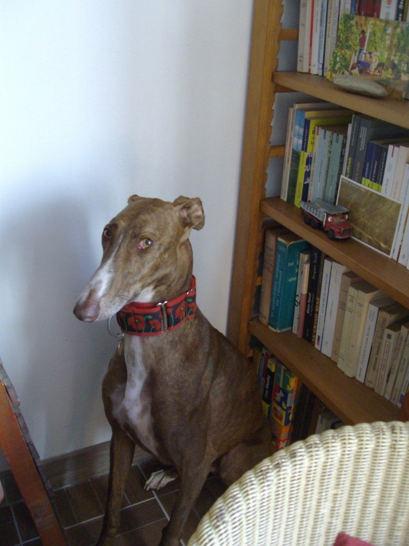 Othello galgo Scooby France –Adopté/devenu OTTO - Page 3 Imgp0017