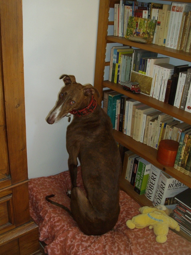 Othello galgo Scooby France –Adopté/devenu OTTO - Page 4 Oaucoi10
