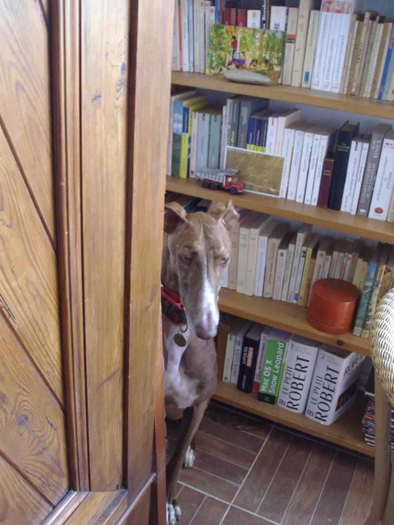 Othello galgo Scooby France –Adopté/devenu OTTO - Page 4 Oburea10