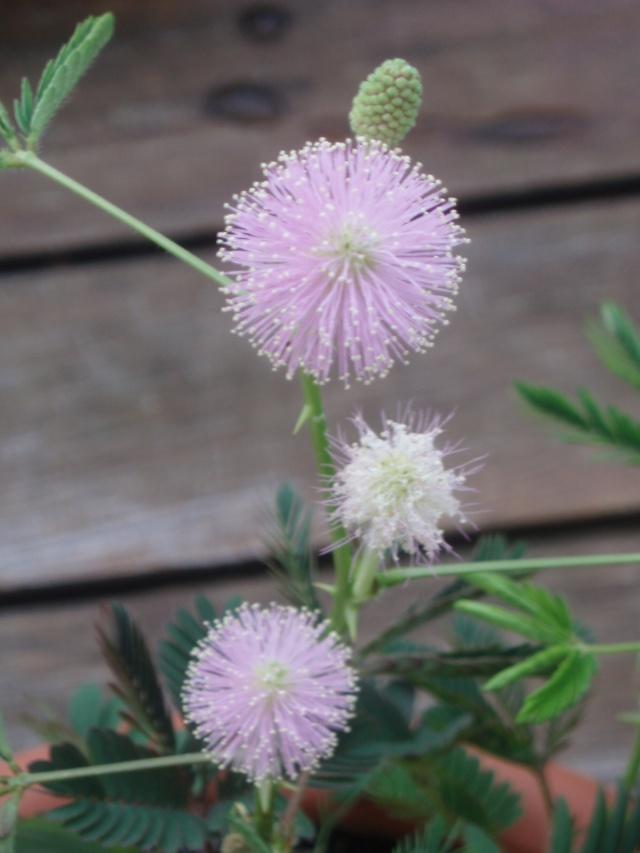 Mimosa pudica Pb051010