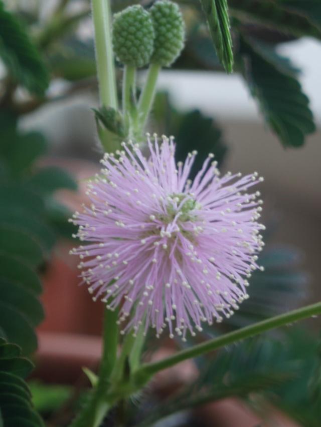 Mimosa pudica Pb051011