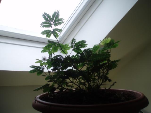 Mimosa pudica Pb251110