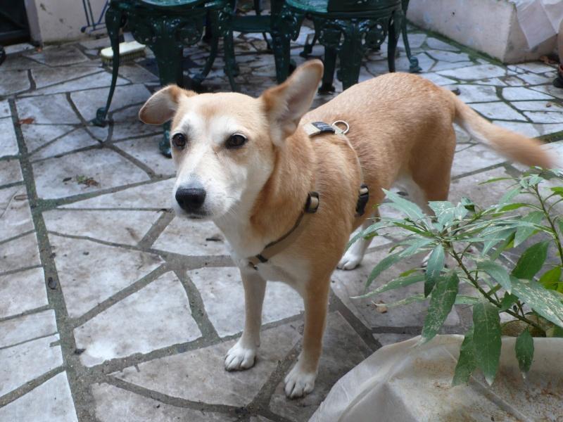 trouvé petite chienne Paris Rambuteau - A RETROUVE SES MAITRES - Chienn10