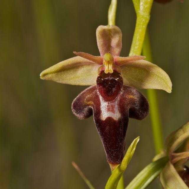 Hybrides d'Ophrys de Chateau-Thierry  Fuci_x10