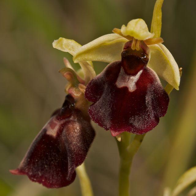 Hybrides d'Ophrys de Chateau-Thierry  Fuci_x11