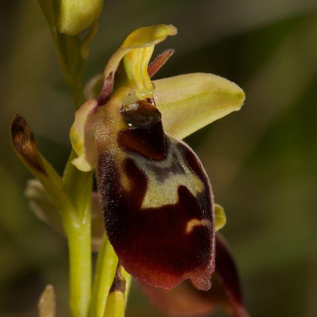 Hybrides d'Ophrys de Chateau-Thierry  Fuci_x12