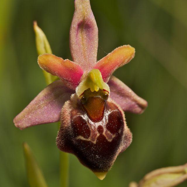 Hybrides d'Ophrys de Chateau-Thierry  Fuci_x15
