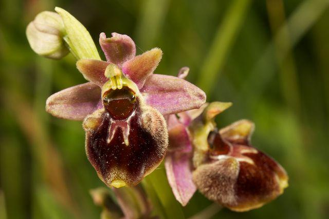 Hybrides d'Ophrys de Chateau-Thierry  Fuci_x16