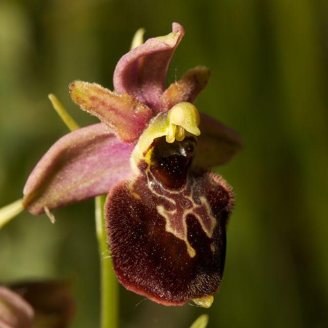 Hybrides d'Ophrys de Chateau-Thierry  Fuci_x17
