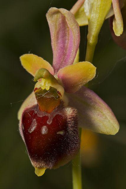 Hybrides d'Ophrys de Chateau-Thierry  Fuci_x18