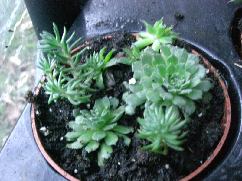 plantes succulentes et autres Cimg4011