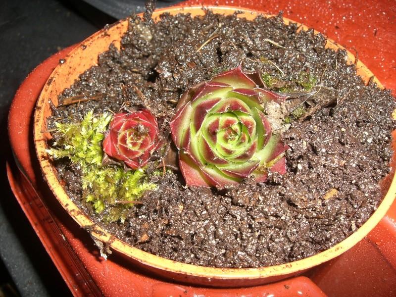 plantes succulentes et autres Cimg4019