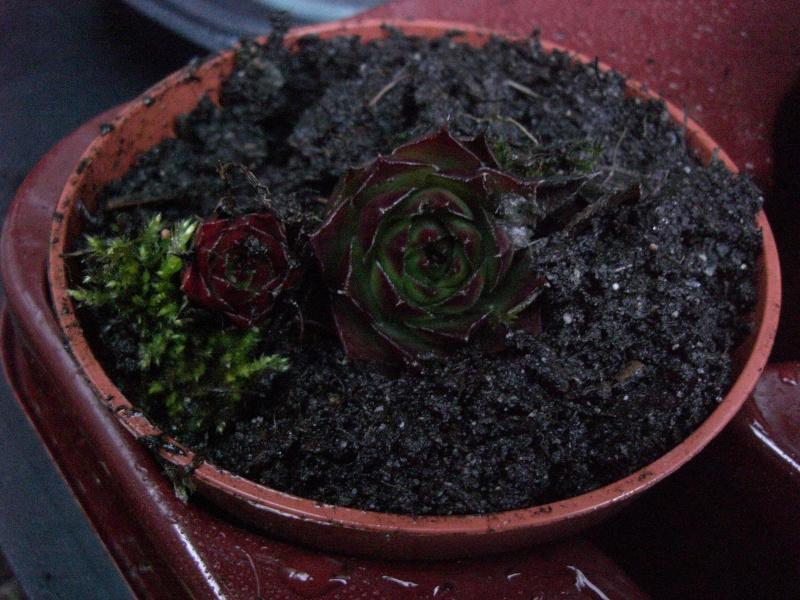 plantes succulentes et autres Cimg4020