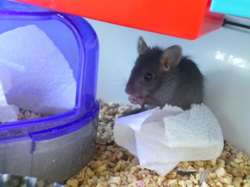 Bébé rattus rattus orphelin  - Page 4 P1030612