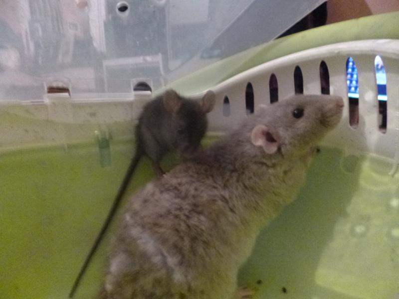 Bébé rattus rattus orphelin  - Page 4 P1030712
