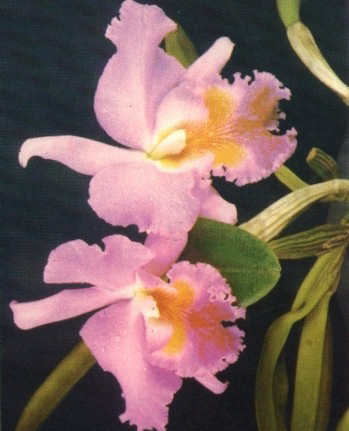 BUSQUEMOS HERMOSAS FLORES Orquid10