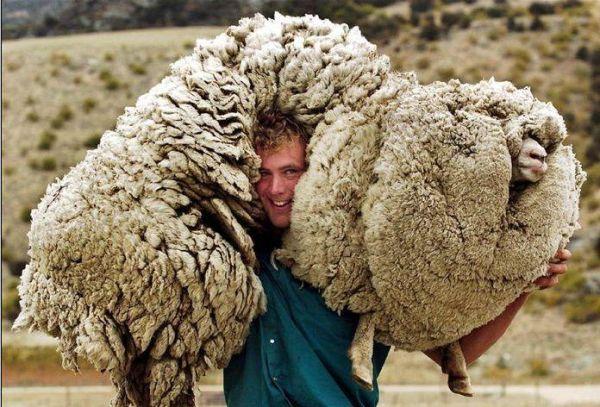 l'hiver arrive à grand pas Mouton10