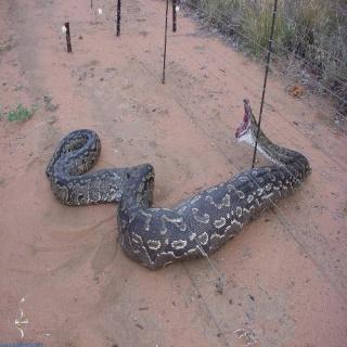 اكبر ثعبان في العالم في اندنوسيا لايفوتكم 15791510