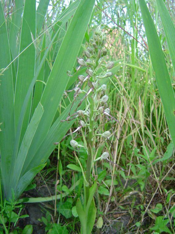 Les orchidées de mon jardin Orch310