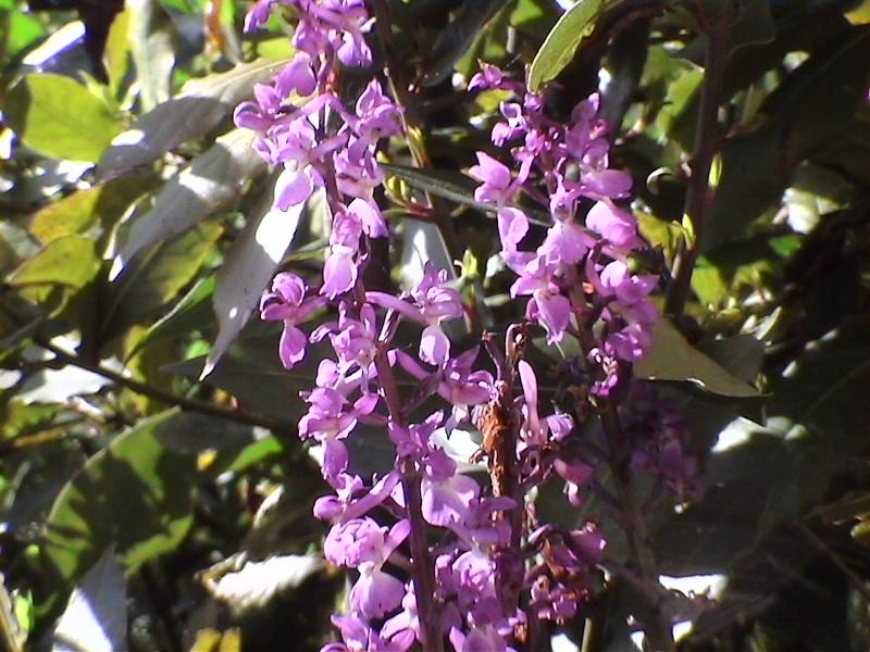 Les orchidées de mon jardin Dvc00210