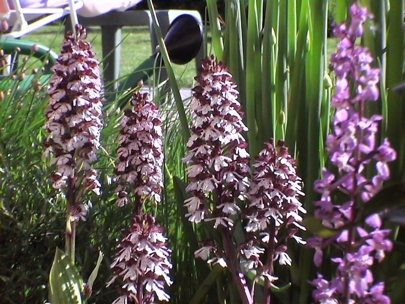 Les orchidées de mon jardin Dvc00211