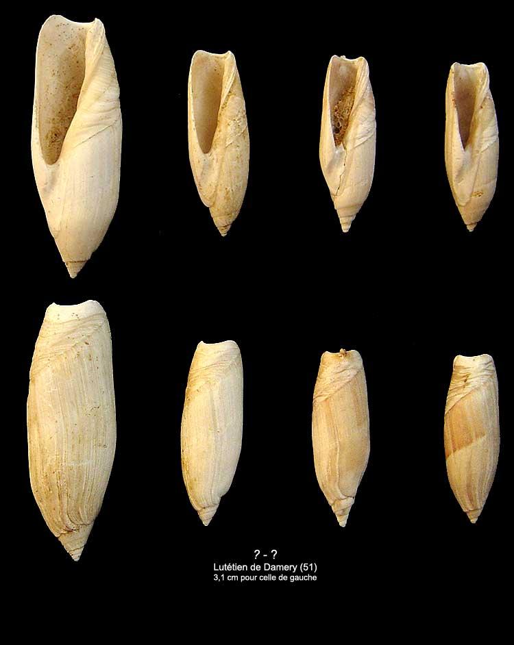 [résolu]Ancillarina canalifera (Lamarck, 1802) 1210