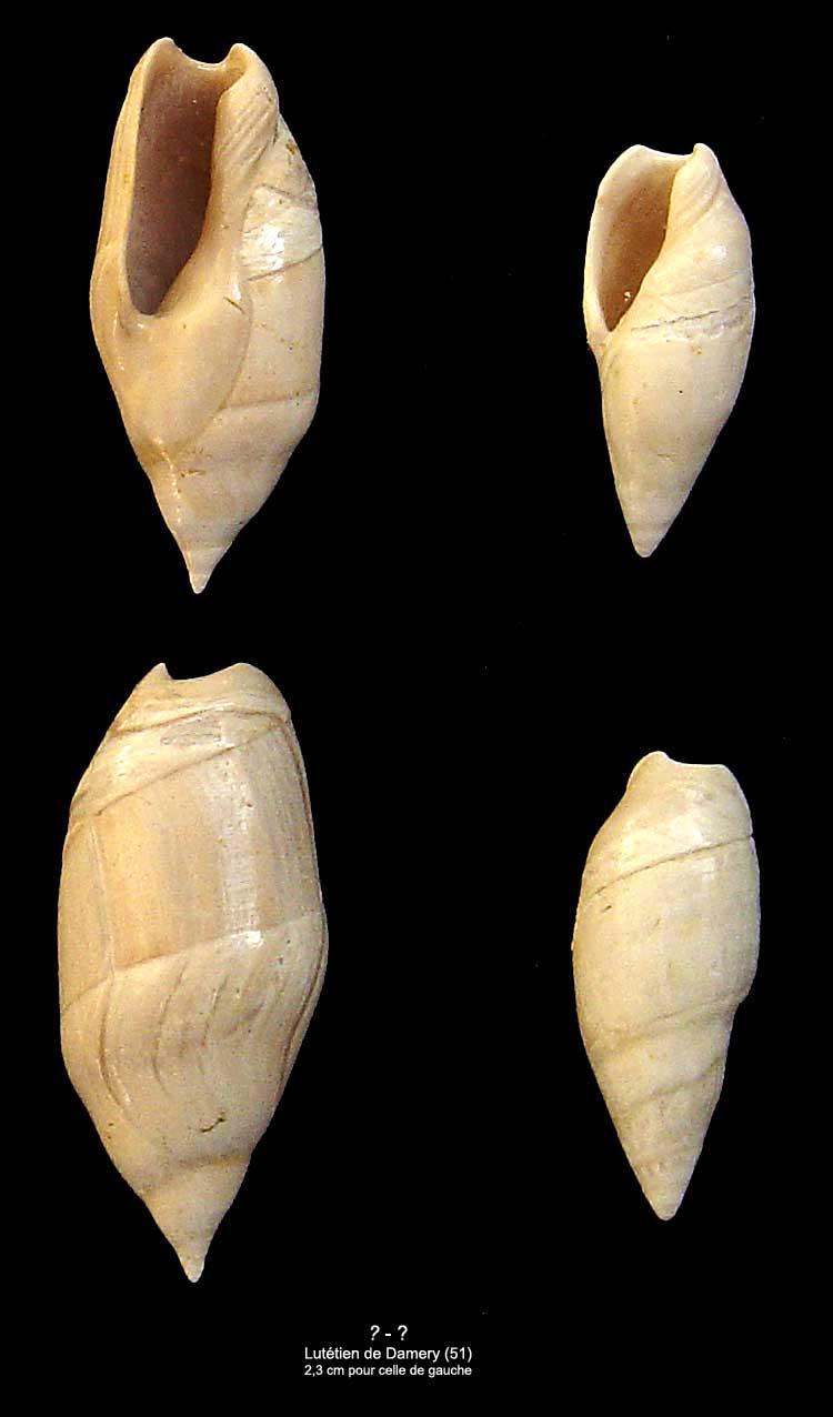 Gastéropodes Lutétien Damery - Amalda dubia ? 1310