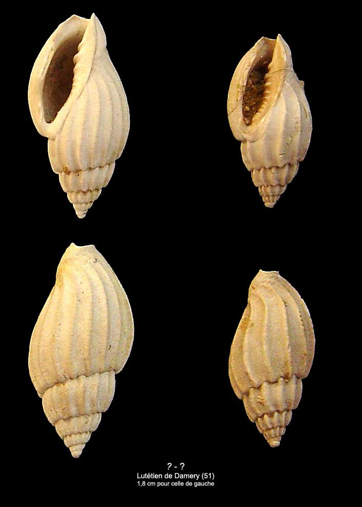 [résolu]Lyria harpula Lamarck, 1802 1410