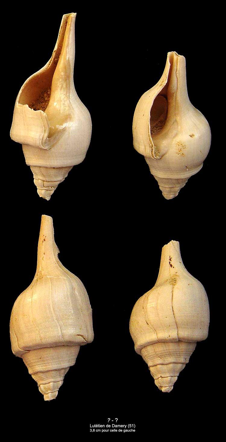 Gastéropodes Lutétien Damery - Clavilithes 1610