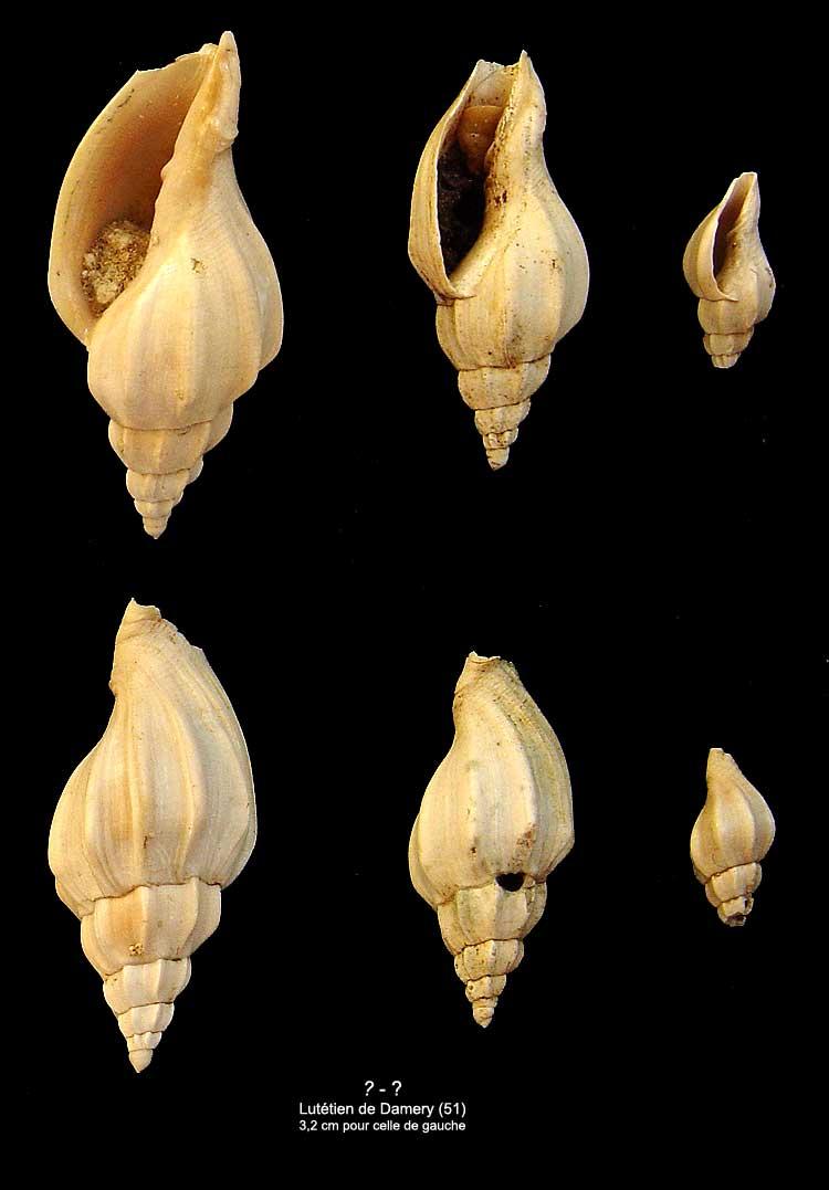 [résolu]Eopsephaea costaria (Lamarck, 1802) 1711