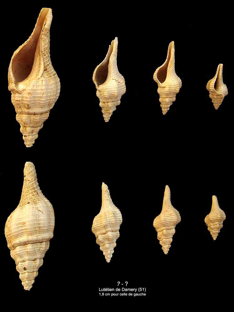 [résolu]Clavilithes rugosus Lamarck, 1803. 1810