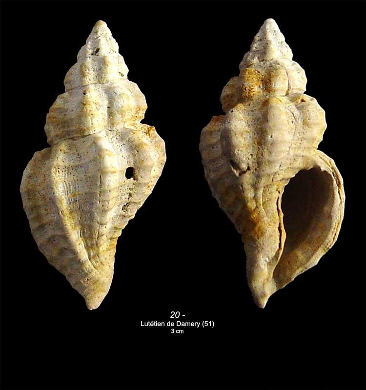 [résolu]Janiopsis parisiensis (DESHAYES, 1835) 2010