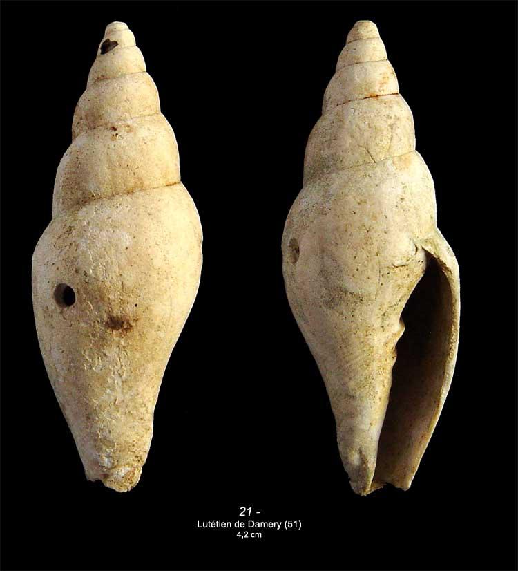 [résolu]Mitraria (s.str.) elongata (LAMARCK, 1803) 2110