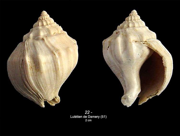 [résolu]Strepsidura turgida (SOLANDER in BRANDER, 1766) 2210