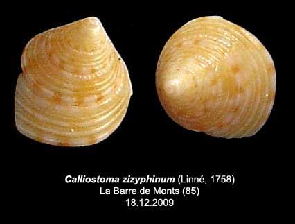 Coquilles actuelles de La Barre de Monts - 85 Callio10