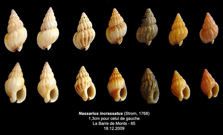 Coquilles actuelles de La Barre de Monts - 85 Nassar10