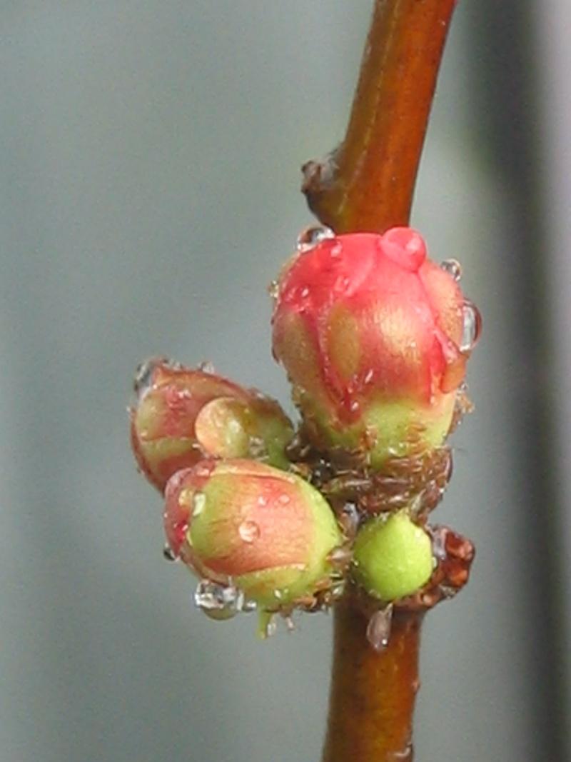 chaenomeles japonica Bonsai15
