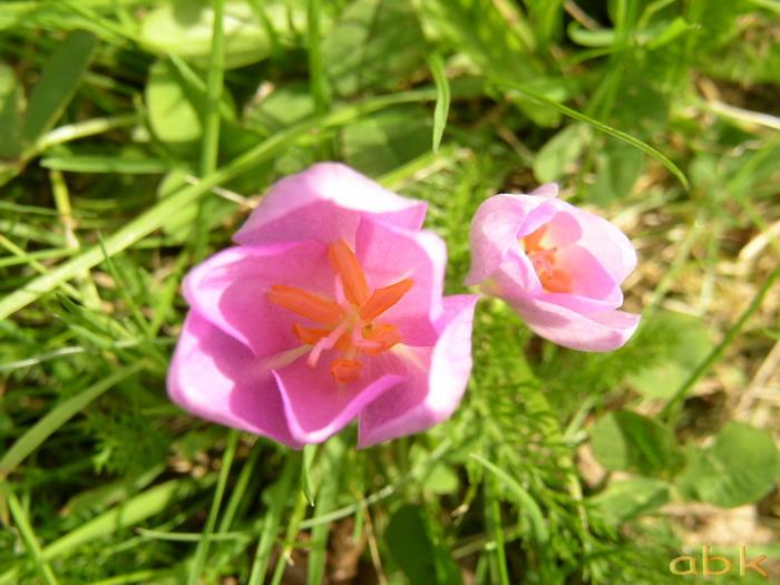Fleurs Colchi10